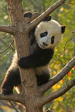 Giant Panda (Ailuropoda melanoleuca) cub climbing tree. Chengdu, China. Captive.