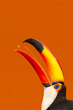 Toco Toucan (Ramphastos toco) beak open with tongue visible while feeding on mango, Brazil