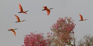 Roseate Spoonbills (Platalea ajaja) in flight, Pantanal, Mato Grosso do Sul, Brazil