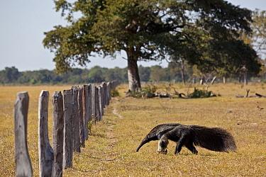 Giant Anteater (Myrmecophaga tridactyla) approaching livestock  fence, Pantanal. Brazil