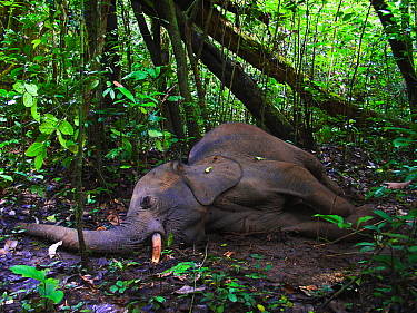Dying African forest elephant (Loxodonta africana cyclotis), shot and wounded by poachers, near Lokoue Bai. Odzala-Kokoua National Park, Republic of Congo.