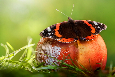 Red Admiral butterfly (Vanessa atalanta) feeding on rotten apple. Derbyshire, August.