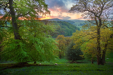 Mixed deciduous woodland in spring at dawn, Peak District National Park, Cheshire, UK, May.