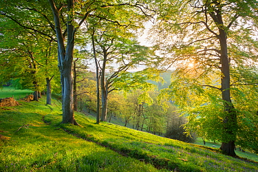 Beech (Fagus sylvatica) woodland in spring, at dawn, Peak District National Park, Cheshire, UK, May.
