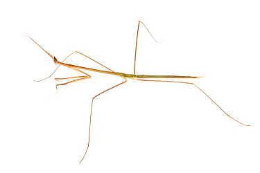 Grass Mantis (Schizocephala bicornis) photographed on a white background. Captive, originating from India.