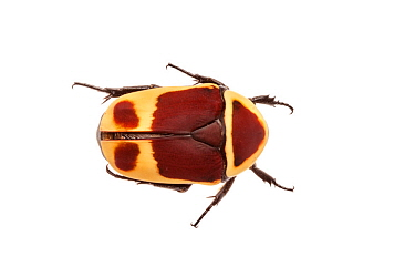 Sun Beetle (Pachnoda marginata peregrina) photographed on a white background. Captive, originating from west and central Africa