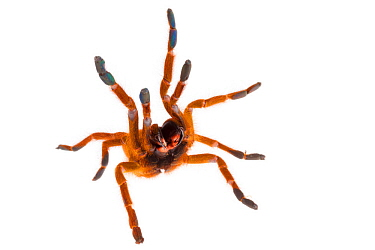 Baboon Spider (Pterinochilus murinus) in aggressive posture, photographed on a white background. Captive, originating from Africa.
