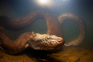 Green anaconda (Eunectes murinus) underwater, flicking tongue,  Formoso River, Bonito, Mato Grosso do Sul, Brazil
