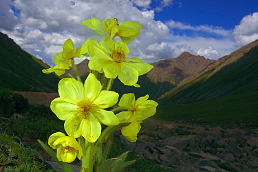 Yellow poppywort (Meconopsis integrifolia) flowering, Qinghai-Tibet Plateau, Shiqu County, Sichuan Province, China, August.
