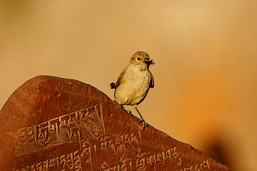 Tibetan snowfinch (Montifringilla adamsi) with prey, perched on Mani stone- a stone with mantra or prayer to Avalokiteshvara, near to Namtso lake, Nyaingqentanglha Mountains, Qinghai-Tibetan Plateau,...