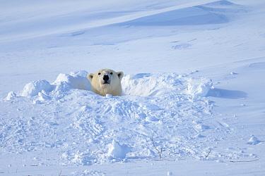Polar bear (Ursus maritimus) female coming out the den. Wapusk National Park, Churchill, Manitoba, Canada, March.