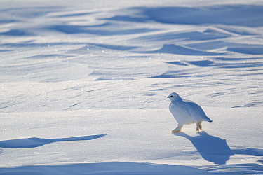 Willow grouse / Willow Ptarmigan (Lagopus lagopus) in winter plumage. Wapusk National Park, Churchill, Manitoba, Canada, March.