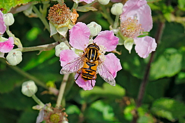 Hoverfly (Helophilus pendulus) feeding on Bramble (Rubus fruticosus) at edge of woodland, Cheshire, UK, July