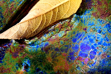 Bacteria (Lepthotryx discophora) causing iridescent patterns and White willow tree leaf (Salix alba) in river, Sierra de Grazalema Natural Park, southern Spain, November.