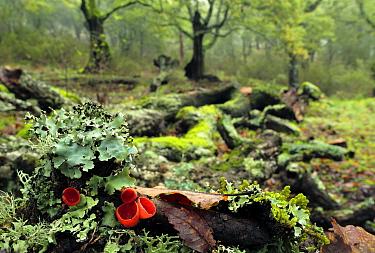 Scarlet elf cup (Sarcoscypha coccinea) in woodland with lichens, Los Alcornocales Natural park, Cortes de la Frontera, southern Spain, January.