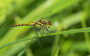 Black darter dragonfly (Sympetrum danae) resting, Kymenlaakso, Finland, August.
