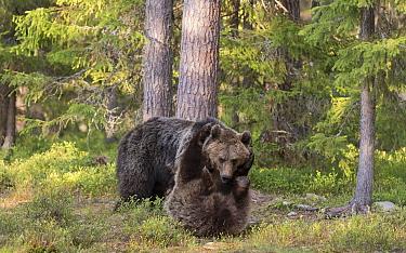 Brown bears (Ursus arctos) juveniles play fighting, Kainuu, Finland, May.