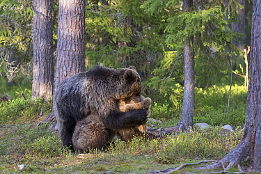 Brown bears (Ursus arctos) juveniles play fighting one with paws over the others eyes, Kainuu, Finland, May.
