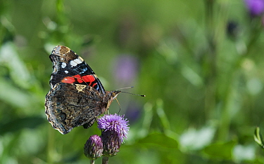 Red admiral butterfly (Vanessa atalanta) on  thistle flower, Aland Islands, Finland, August.