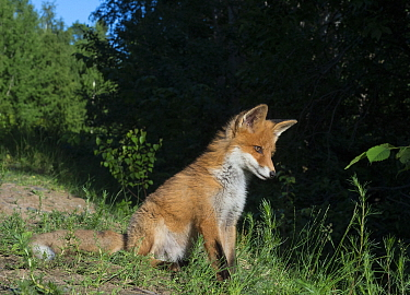 Red fox (Vulpes vulpes) sitting at forest edge, South Karelia, Finland, June.
