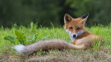 Red fox (Vulpes vulpes) resting, South Karelia, Finland, August.