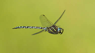 Common hawker dragonfly (Aeshna juncea), male in flight, Toivakka, Central Finland, August.