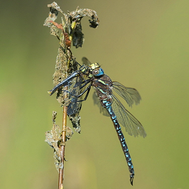 Common hawker dragonfly (Aeshna juncea), male feeding on a smaller dragonfly, Northern Ostrobothnia, Finland, August.