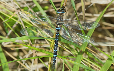 Migrant hawker dragonfly (Aeshna mixta) male, Southwest Finland, October.