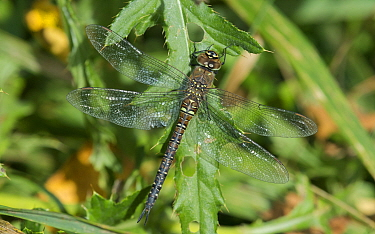 Migrant hawker dragonfly (Aeshna mixta), female, Southwest Finland, October.