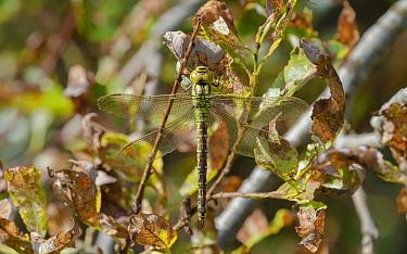 Green hawker dragonfly (Aeshna viridis), female resting, Northern Ostrobothnia, Finland, August.