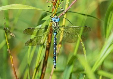 Green hawker dragonfly (Aeshna viridis), male, Northern Ostrobothnia, Finland, August.