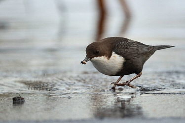 White-throated dipper (Cinclus cinclus) with prey on icy river, Muurame, Finland, February.