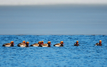Red-crested pochard (Netta rufina) group of males, Muurame, Finland, March.
