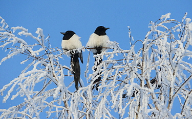 Common magpies (Pica pica) perched on frost covered branches, Jvaskyla, Finland, January.