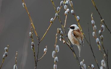European penduline tit (Remiz pendulinus), male perched on willow, Jyvaskyla, Finland, April.