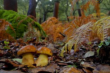 Penny bun / Cep mushroom (Boletus edulis) Los Alcornocales Natural park, Cortes de la Frontera, southern Spain, November.
