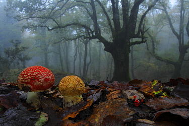 Fly agaric (Amanita muscaria) in foggy forest, Los Alcornocales Natural Park,  southern Spain, January.