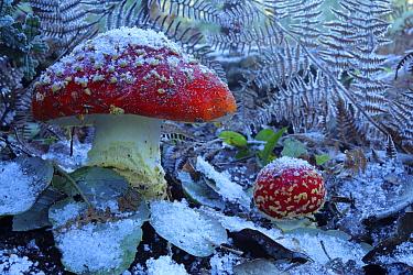 Fly agaric mushrooms (Amanita muscaria) in snow,  Los Alcornocales Natural Park, Cortes de la Frontera, southern Spain, January.