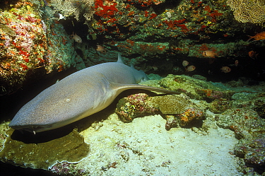 Tawny nurse shark (Nebrius Ferrugineus) Bijoutier, Seychelles. Indian Ocean.