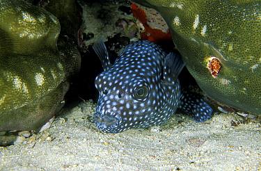 Starry pufferfish (Arothron meleagris) Maldives, Indian Ocean.