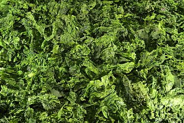 Dried Sea lettuce algae (Ulva sp.), Roscoff, France, April.