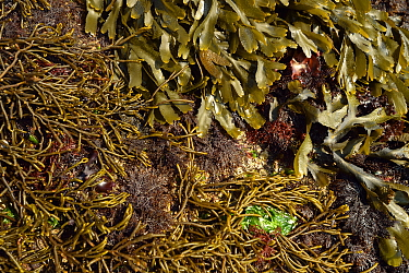 Intertidal rocks covered in seaweeds, including, brown algae: at top Toothed wrack (Fucus serratus) and on the left Bifurcaria bifurcata. Red algae: middle and bottom right Pepper dulse (Osmundea pinn...