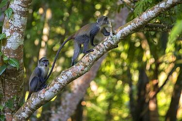 Blue monkey (Cercopithecus mitis) female with youngster, Jozani Forest, Jozani Chwaka Bay NP, Zanzibar, Tanzania, August.