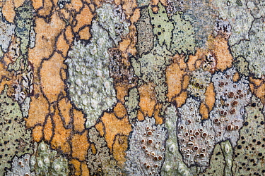 Various lichen species growing on wooden hand rail, including Lecania sp. Isle of Mull, Scotland, UK. June.