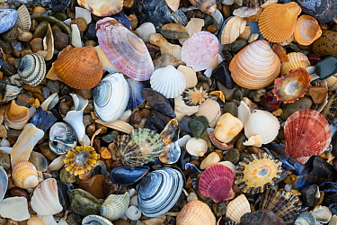 Natural accumulation of mollusc shells, mainly bivalves, washed up on the strandline, Anglesey, Wales, UK. December.