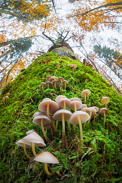 Toadstools (Mycena sp.) growing on a dead conifer tree. Plitvice Lakes National Park, Croatia. November.