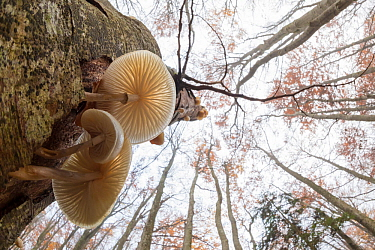 Low angle view of Porcelain fungus (Oudemansiella mucida) growing on a dead Beech tree (Fagus sylvatica). Plitvice Lakes National Park, Croatia. November.