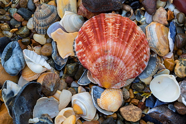 Natural accumulation of mollusc shells, mainly bivalves including a Queen scallop (Aequipecten / Chlamys opercularis), washed up on the strand line, Anglesey, Wales, UK. December.