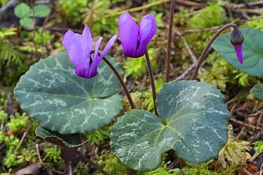 Alpine cyclamen (Cyclamen purpurascens) growing on woodland floor, Julian Alps, Slovenia, July.