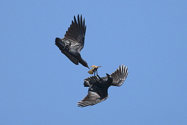 Fan-tailed ravens (Corvus rhipidurus) interacting in flight, one carrying a leaf, Oman, November.